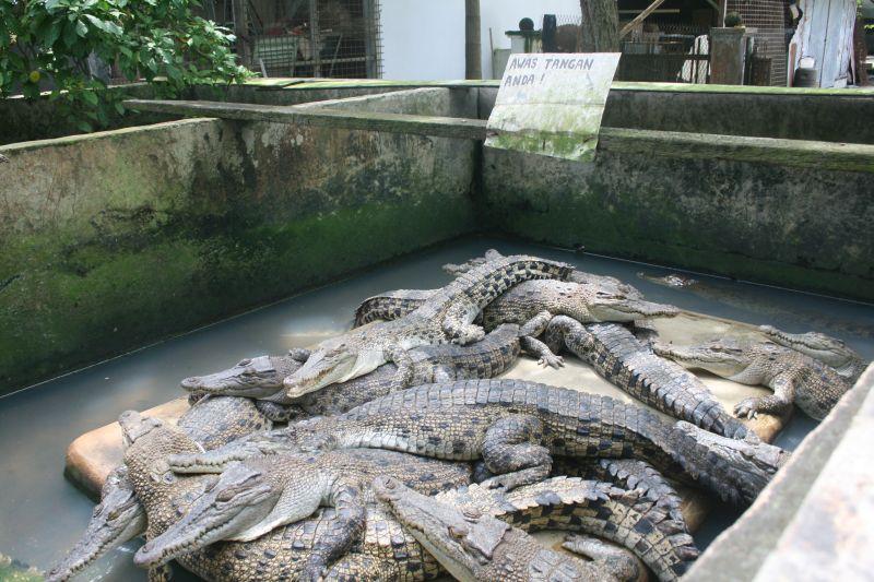 crocodiles-medan